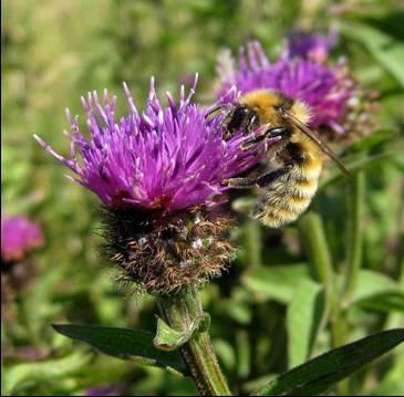The Great Yellow Bumblebee - Bombus Distinguendus